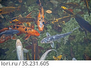 Detroit, Michigan - Koi swim in the Lily Pond at the Ann Scripps ... Стоковое фото, фотограф Jim West / age Fotostock / Фотобанк Лори
