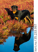 Rottweiler on saltmarsh in autumn, reflected in water. Connecticut, USA. September. Стоковое фото, фотограф Lynn M. Stone / Nature Picture Library / Фотобанк Лори