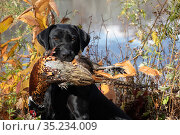 Black Labrador Retriever with retrieved Ring-necked pheasant in mouth, beside pond. Connecticut , USA. November. Стоковое фото, фотограф Lynn M. Stone / Nature Picture Library / Фотобанк Лори