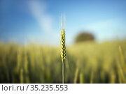 Пшеничный колос крупным планом. One spike in close up. Стоковое фото, фотограф Игорь Струков / Фотобанк Лори