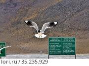 Andean gull (Chroicocephalus serranus) in flight, El Tatio, Chilean Andes. September. Стоковое фото, фотограф Daniel Heuclin / Nature Picture Library / Фотобанк Лори