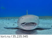 Lemon shark (Negaprion brevirostris) resting on sea floor, Whitefin sharksucker (Echeneis neucratoides) remora cleaning inside mouth. Bahamas. Стоковое фото, фотограф Pascal Kobeh / Nature Picture Library / Фотобанк Лори