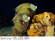 French angelfish (Pomacanthus paru) pair at night. Bahamas. Стоковое фото, фотограф Pascal Kobeh / Nature Picture Library / Фотобанк Лори