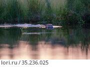 Beaver (Castor fiberswimming, Malingsbo-Kloten Nature Reserve, Vastmanland, Sweden. Стоковое фото, фотограф Staffan Widstrand / Nature Picture Library / Фотобанк Лори