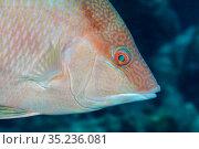 Hogfish (Lachnolaimus maximus), Banco Chinchorro Biosphere Reserve, Caribbean region, Mexico, Vulnerable. Стоковое фото, фотограф Claudio Contreras / Nature Picture Library / Фотобанк Лори