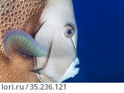 Gray angelfish (Pomacanthus arcuatus), Cozumel Island, Caribbean Sea, Mexico. Стоковое фото, фотограф Claudio Contreras / Nature Picture Library / Фотобанк Лори