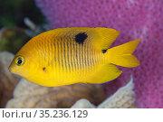 Threespot damselfish (Stegastes planifrons) juvenile, Cozumel Island, Caribbean Sea, Mexico. Стоковое фото, фотограф Claudio Contreras / Nature Picture Library / Фотобанк Лори