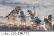 Burrowing owl (Athene cunincularia) chicks emerging from burrow, begging food from adult, Marana, Arizona, Sonoran Desert, USA. Стоковое фото, фотограф Jack Dykinga / Nature Picture Library / Фотобанк Лори
