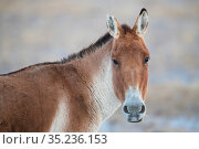 Kiang or Tibetan Wild ass (Equus kiang) Keke Xili / Hoh Xil Nature Reserve, Tibetan High plateau, Qinghai, China. Стоковое фото, фотограф Staffan Widstrand / Wild Wonders of China / Nature Picture Library / Фотобанк Лори