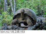 RF - Alcedo volcano Galapagos giant tortoise (Chelonoidis vandenburghi... Стоковое фото, фотограф Andy Rouse / Nature Picture Library / Фотобанк Лори