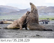 RF - Southern elephant seal (Mirounga leonina), two males fighting... Стоковое фото, фотограф Nick Garbutt / Nature Picture Library / Фотобанк Лори