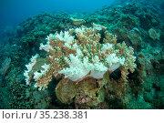 Coral, Xiaoliuqiu Island, Taiwan. Стоковое фото, фотограф Magnus Lundgren / Wild Wonders of China / Nature Picture Library / Фотобанк Лори