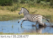 Zebra (Equus quagga) running through water. Savuti, Chobe National Park, Botswana. Стоковое фото, фотограф Guy Edwardes / Nature Picture Library / Фотобанк Лори