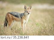 Black-backed jackal (Canis mesomelas) in grassland, Savuti, Chobe National Park, Botswana. Стоковое фото, фотограф Guy Edwardes / Nature Picture Library / Фотобанк Лори