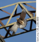 Common kestrel (Falco tinnunculus) female in flight, below electricity pylon, nesting on old railway viaduct. Stockport, Greater Manchester, England, UK. May. Стоковое фото, фотограф Terry Whittaker / Nature Picture Library / Фотобанк Лори