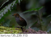 Taiwan wren babbler ( Pnoepyga formosana ) on forest floor. Taiwan. Endemic. Стоковое фото, фотограф Fabian Muhlberger / Wild Wonders of China / Nature Picture Library / Фотобанк Лори