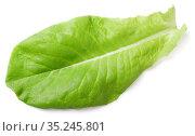 Lettuce green leaf salad isolated on white. Стоковое фото, фотограф Роман Самохин / Фотобанк Лори