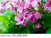 Blühender Klee in einem Garten im Frühjahr. Blooming clover i a garden... Стоковое фото, фотограф Zoonar.com/Kai Schirmer / easy Fotostock / Фотобанк Лори