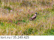 bird of prey Common Buzzard in natural habitat on a meadow on an autumn sunny day. Стоковое фото, фотограф Акиньшин Владимир / Фотобанк Лори