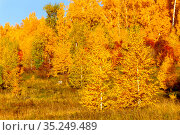 sunlight shines through the autumn foliage of a birch. Стоковое фото, фотограф Акиньшин Владимир / Фотобанк Лори