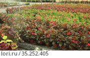 Pots with different flowers in greenhouse. Flower orangery. Стоковое видео, видеограф Яков Филимонов / Фотобанк Лори