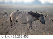 Konik Pony (Equus ferus caballus) with Starlings (Sturnus vulgaris... Стоковое фото, фотограф Robin Chittenden / Nature Picture Library / Фотобанк Лори