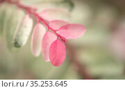 Breynia disticha ornamental bush pink variegated foliage natural floral macro background. Стоковое фото, фотограф Tamara Kulikova / Фотобанк Лори