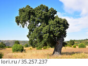 Evergreen oak, holm oak or holly oak (Quercus ilex ballota or Quercus... Стоковое фото, фотограф J M Barres / age Fotostock / Фотобанк Лори