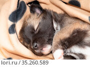 Vier Wochen alter Welpe (Rasse Islandhund) Стоковое фото, фотограф Zoonar.com/Monika Scheurer / easy Fotostock / Фотобанк Лори