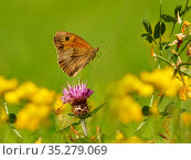 Meadow Brown butterfly (Maniola jurtina) flying Wales, UK. July. Стоковое фото, фотограф Andy Rouse / Nature Picture Library / Фотобанк Лори