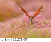 RF - Small Copper butterfly (Lycaena phlaeas) feeding on sedum, Wales, UK. September. (This image can be sold as Rights managed or Royalty free). Стоковое фото, фотограф Andy Rouse / Nature Picture Library / Фотобанк Лори