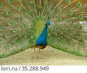 Обыкновенный, или голубой, павлин (лат. Pavo cristatus) Стоковое фото, фотограф lana1501 / Фотобанк Лори