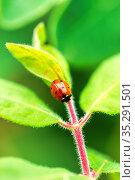 Ladybug on green leaf. Стоковое фото, фотограф Евгений Ткачёв / Фотобанк Лори
