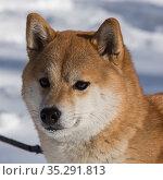 Портрет сиба-ину крупным планом на фоне снега. Стоковое фото, фотограф Михаил Панфилов / Фотобанк Лори