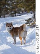 Сиба-ину стоит на зимней дороге в лесу. Редакционное фото, фотограф Михаил Панфилов / Фотобанк Лори