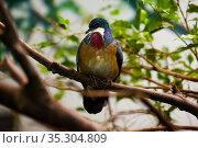 Mindanao bleeding-heart dove. Стоковое фото, фотограф Яков Филимонов / Фотобанк Лори