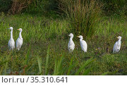 Little egret (Egretta garzetta) on left, and three adult and one juvenile Cattle egret (Bubulcus ibis) looking up as a Marsh harrier hunts nearby over... Стоковое фото, фотограф Nick Upton / Nature Picture Library / Фотобанк Лори