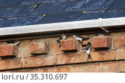 House martins (Delichon urbicum) perching on bricks under house eaves as a group gathers ahead of their autumn migration, Gloucestershire, UK, September. Стоковое фото, фотограф Nick Upton / Nature Picture Library / Фотобанк Лори