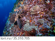 Hawksbill turtle (Eretmochelys imbricata) feeding on the coral reef, Green Island, Taiwan. Стоковое фото, фотограф Magnus Lundgren / Wild Wonders of China / Nature Picture Library / Фотобанк Лори