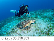 Green sea turtle (Chelonia mydas) on a sandy flat, Green Island, Taiwan. Стоковое фото, фотограф Magnus Lundgren / Wild Wonders of China / Nature Picture Library / Фотобанк Лори