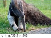 Giant Anteater (Myrmecophaga triductyla) looking for food. Стоковое фото, фотограф Zoonar.com/Phil Bird / easy Fotostock / Фотобанк Лори