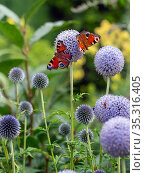 Peacock butterflies (Aglais io) feeding on Echinops , Norfolk, England, UK, July. Стоковое фото, фотограф Ernie Janes / Nature Picture Library / Фотобанк Лори