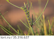 Moth (Hyles tithymali) caterpillar in the dunes of Erg Chebbi, Morocco) Стоковое фото, фотограф Karine Aigner / Nature Picture Library / Фотобанк Лори