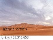 Camel caravan walks across the sand dunes of Erg Chebbi outside of Merzouga, Morocco. Стоковое фото, фотограф Karine Aigner / Nature Picture Library / Фотобанк Лори