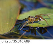 Pirate pond spider / Pirate otter spider (Pirata piraticus) hunting from a water lily leaf on a pond margin, with its front legs touching the water surface... Стоковое фото, фотограф Nick Upton / Nature Picture Library / Фотобанк Лори