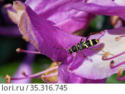 Wasp beetle (Clytus arietis) visiting a Rhododendron flower, Dorset heathland, UK, May. Стоковое фото, фотограф Nick Upton / Nature Picture Library / Фотобанк Лори
