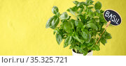 close up of basil herb with name on tag in pot. Стоковое фото, фотограф Syda Productions / Фотобанк Лори
