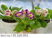 Красивые примулы (лат. Primula vulgaris) в горшках на подоконнике. Стоковое фото, фотограф Елена Коромыслова / Фотобанк Лори