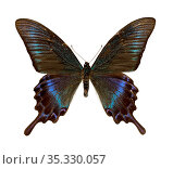 Парусник Маака (лат. Papilio maackii) Стоковое фото, фотограф Мария Кылосова / Фотобанк Лори