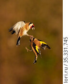 Goldfinch (Carduelis carduelis) two fighting in flight, Wales, UK, January. Стоковое фото, фотограф Andy Rouse / Nature Picture Library / Фотобанк Лори